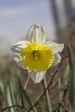 Een bloeiende gele narcis in het Park Stock Foto