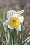 Een bloeiende gele narcis in het Park Stock Afbeelding