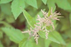 Een bloeiende groene netel: ecologische, gezonde en voedzame wildernis royalty-vrije stock foto