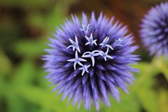 Een bloeiende purpere Eeuwigdurende Bloem royalty-vrije stock foto's