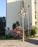 Een bloeiende struik achter een straatlantaarn Stock Afbeelding