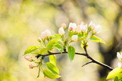 Bloeiende tak van appelboom in de lente stock afbeelding
