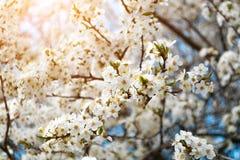 Een bloeiende tak van appelboom in de lente met glans van zonlicht in de zonsondergang Vage achtergrond Royalty-vrije Stock Fotografie