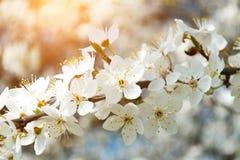 Een bloeiende tak van appelboom in de lente met glans van zonlicht in de zonsondergang Vage achtergrond Royalty-vrije Stock Afbeeldingen