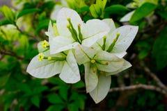 Een bloeiende verse en levendige witte Bougainvilleabloem stock foto