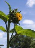Een bloeiende zonnebloem Stock Afbeelding