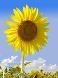 Een Bloeiende Zonnebloem tegen de Blauwe Hemel Royalty-vrije Stock Fotografie