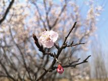 Een bloem en een knop zijn in de lente stock afbeeldingen