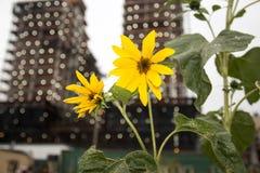 Een bloem groeit in Brooklyn Stock Foto