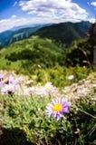 Een bloem op Maly Rozsutec Royalty-vrije Stock Afbeelding