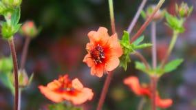 Een bloem, Potentilla-nepalensis royalty-vrije stock foto's