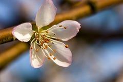 Een bloem van de Perzik Royalty-vrije Stock Foto's