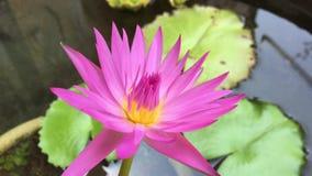 Een bloem van de Waterlelie stock footage