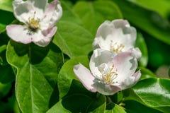 Een bloem van een boom van een kweepeer, Royalty-vrije Stock Fotografie
