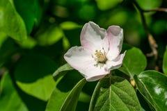 Een bloem van een boom van een kweepeer, Royalty-vrije Stock Foto's