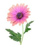 Een bloem van het astermadeliefje Stock Afbeeldingen