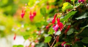 Een bloem van rode fuchsia op een mooie vage achtergrond Royalty-vrije Stock Foto's