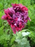 Een bloem van een violette tuin pluizige pioen achter een achtergrond van stock foto's