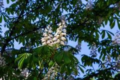 Een bloem van witte chestnu Royalty-vrije Stock Foto