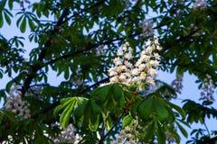 Een bloem van witte kastanje Royalty-vrije Stock Foto's