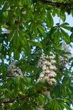 Een bloem van witte kastanje Stock Foto's