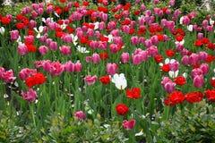 Een bloembed met rode, roze en witte tulpen in een park stock fotografie