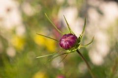 Een bloemknop van tuinkosmos of kosmosbipinnatus of Mexicaanse aster Royalty-vrije Stock Afbeeldingen