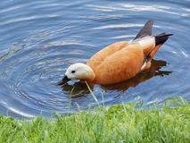 Een blozende shelduck in Ekaterininsky-Tuin in Moskou Stock Foto