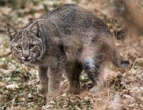 Een Bobcat op snuffelt rond royalty-vrije stock foto's