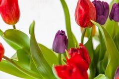 Een boeket van de mening van het tulpenclose-up van rood en purper met groene bladeren op een witte achtergrond royalty-vrije stock fotografie