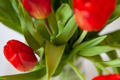 Een boeket van de mening van het tulpenclose-up van rood en purper met groene bladeren op een witte achtergrond royalty-vrije stock foto's