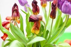 Een boeket van de verwelkte mening van het tulpenclose-up van rood en purper met groene bladeren op een witte achtergrond stock foto