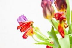 Een boeket van de verwelkte mening van het tulpenclose-up van rood en purper met groene bladeren op een witte achtergrond stock afbeeldingen