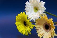 Een boeket van gerbera bloeit op een blauwe achtergrond kleurrijk viering 8 maart royalty-vrije stock foto