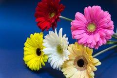 Een boeket van gerbera bloeit op een blauwe achtergrond kleurrijk viering 8 maart royalty-vrije stock foto's