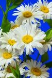 Een boeket van madeliefjes op een blauwe achtergrond stock foto's