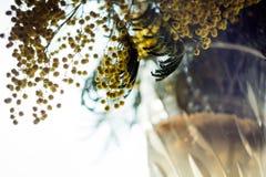 Een boeket van mimosa Stock Afbeeldingen