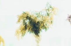Een boeket van mimosa Royalty-vrije Stock Afbeeldingen