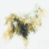 Een boeket van mimosa Stock Foto