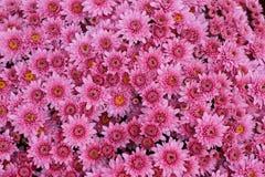 Een boeket van mooie chrysant bloeit in openlucht Chrysanten in de tuin Kleurrijke bloemchrisanthemum Bloemen patroon stock afbeelding
