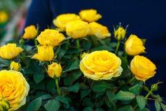 Een boeket van mooie gele rozen als gift royalty-vrije stock foto's
