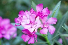 Een boeket van mooie roze bloemblaadjes die van geurige Zoete Oleander of Rose Bay, op groen bloeien doorbladert en onscherpe ach royalty-vrije stock afbeelding