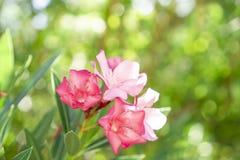 Een boeket van mooie roze bloemblaadjes die van geurige Zoete Oleander of Rose Bay, op groen bloeien doorbladert royalty-vrije stock foto's
