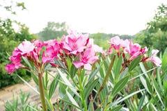 Een boeket van mooie roze bloemblaadjes die van geurige Zoete Oleander of Rose Bay, op groen bloeien doorbladert en onscherpe ach royalty-vrije stock foto