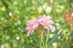 Een boeket van mooie roze bloemblaadjes die van geurige Zoete Oleander of Rose Bay, op groen bloeien doorbladert en vertroebelde  stock fotografie