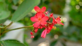 Een boeket van rode bloemblaadjes Katoenen leaved jatrophainstallatie die op vage groene bladerenachtergrond bloeien, kent als Pe stock foto