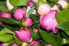 Een boeket van roze pioen Stock Afbeeldingen