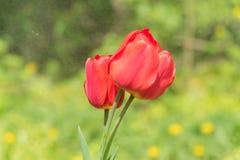 Een boeket van tulpen in dalingen van water royalty-vrije stock foto's