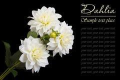Een boeket van witte rozen op een zwarte achtergrond Stock Afbeelding