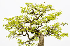 Een bonsai van banyan Stock Foto's
